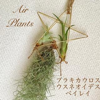 【プランツアレンジ】☆カピタータ・ベイレイ・ウスネオイデス(30cm以上!)☆(リース)