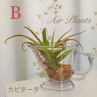 【水苔栽培】カピタータ(B) &キッチンビーカー/(エアープランツアレンジ)(リース)