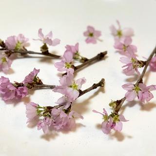 kira kira777様 桜ドライフラワー13(ドライフラワー)