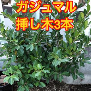 ガジュマル❤️カット枝3本❤️挿し木に❤️観葉植物(その他)