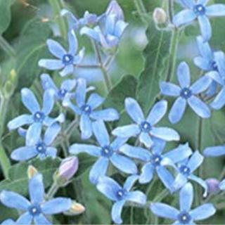 オキシペタラム  ブルースター 種(その他)