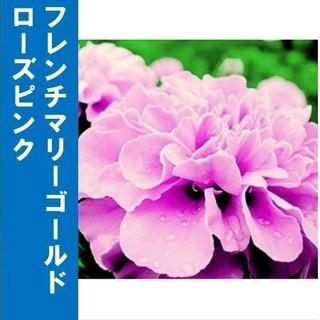 フレンチマリーゴールド ローズピンク 種子30粒(その他)