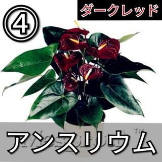 【アンスリウム④】ダークレッド 種子20粒(その他)