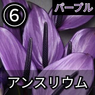 【アンスリウム⑥】パープル 種子20粒(その他)