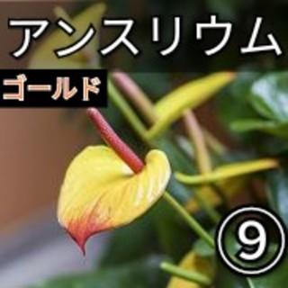 【アンスリウム⑨】ゴールド 種子20粒(その他)