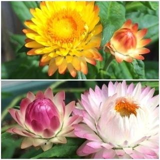 春まき花の種 「ヘリクリサム(帝王貝細工)」の種を50粒以上(ドライフラワー)