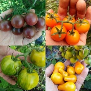 2月~5月蒔き イタリア野菜の種子など。カラフルなトマトの種 4種類10粒ずつ(野菜)