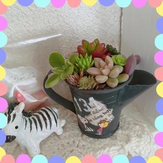 ☆多肉植物 寄せ植え☆ミニピッチャー☆黒☆(その他)