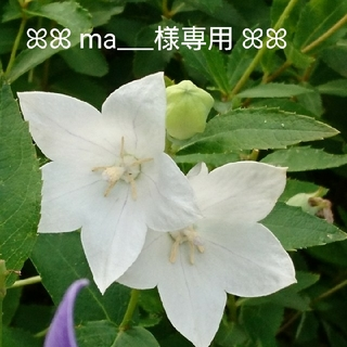 【ma___様専用】☆ふわふわミモザの春色スワッグ☆(ドライフラワー)