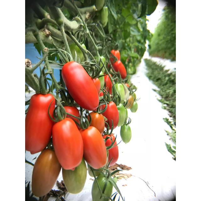 Pomodoro(ポモドーロ)  1kg 食品/飲料/酒の食品(野菜)の商品写真