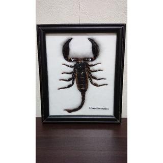 サソリの標本(虫類)