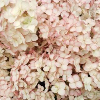 今季開花予定♡新品種 アナベル ピコティ シャルマン ♡送料無料 正規品(その他)
