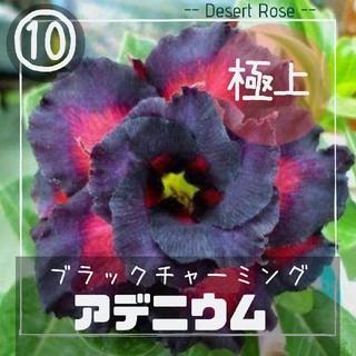 砂漠の薔薇【アデニウム⑩】ブラックチャーミング 種子2粒(その他)