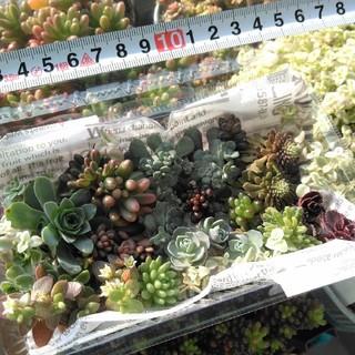 多肉植物 カット苗 寄せ植え ①(その他)
