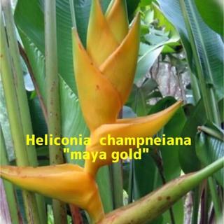 ヘリコニア   マヤゴールド 種子10粒  観葉植物 レア種(その他)