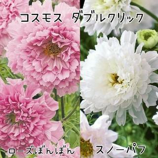 コスモスダブルクリック2種の種☆*°各5粒(その他)