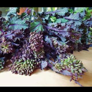 野菜の王様 レッドケール 有機種30粒 スーパーフード 希少 おまけ有機種付き