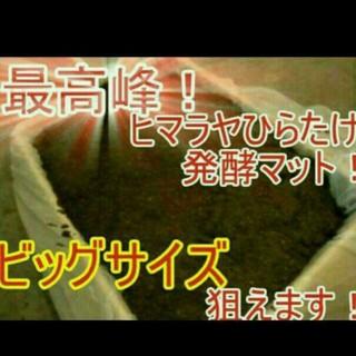 送料無料!80リットル カブトムシ幼虫の餌 ヒマラヤひらたけ発酵マット 巨大化!(虫類)
