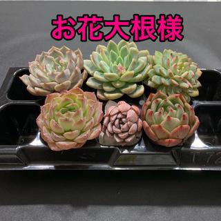 お花大根様専用 多肉植物(その他)