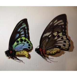 アオメガネトリバネアゲハ 標本ペア未展翅(虫類)