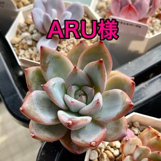 ARU様専用 多肉植物(その他)