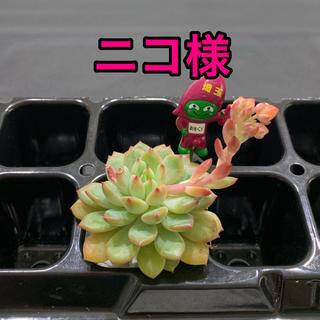 ニコ様専用 多肉植物(その他)
