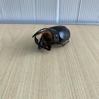 (幻のカブト)サタンオオカブト標本用(虫類)