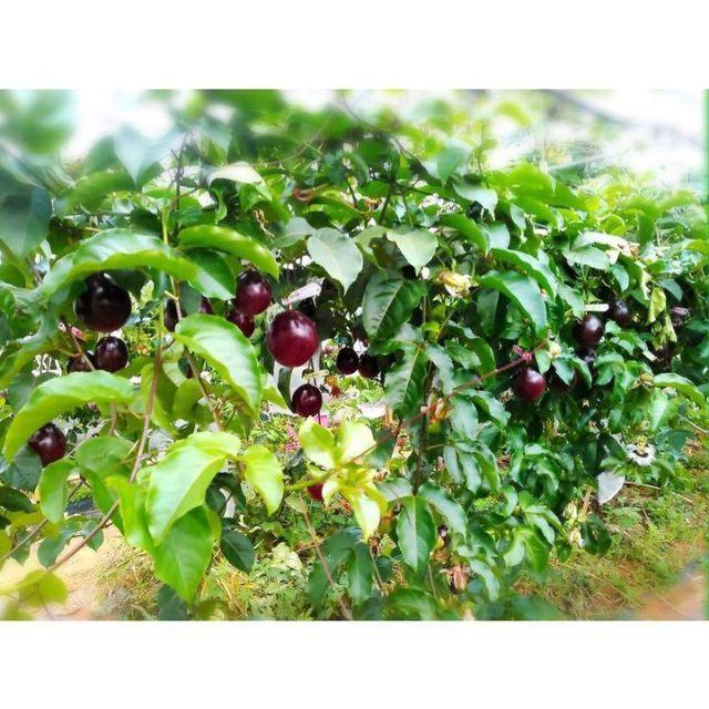 沖縄本島北部産 香りNo.1パッションフルーツ1㎏ 食品/飲料/酒の食品(フルーツ)の商品写真