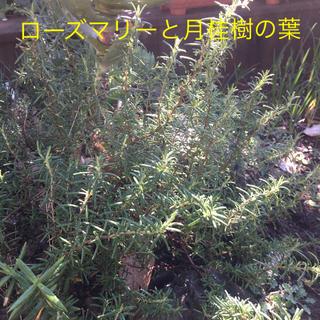 ローズマリーと月桂樹の葉 無農薬(野菜)