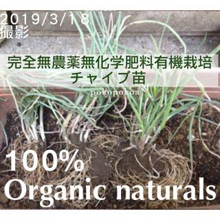 ドイツ チャイブ 苗 オーガニック 完全無農薬無化学肥料有機栽培 (野菜)
