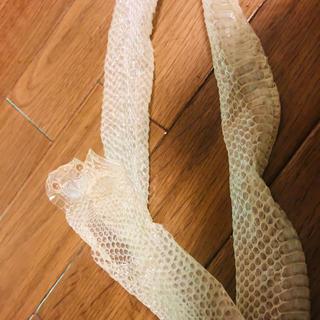 白蛇 ❁ 脱皮 100cm越え(爬虫類/両生類用品)