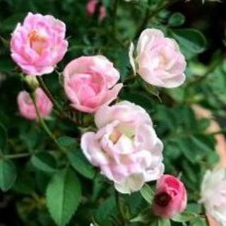 極小 ミニ薔薇 ワンダーファイブ苗 ③(その他)