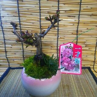 桜のミニ盆栽(その他)