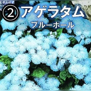 【アゲラタム②】ブルー 種子12粒(その他)