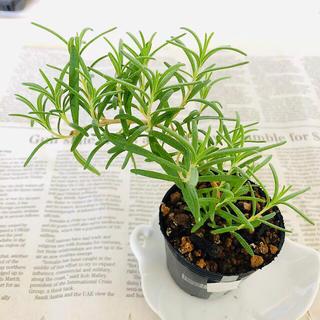 完全無農薬 植物☆大苗 ローズマリー 抜き苗  C(野菜)