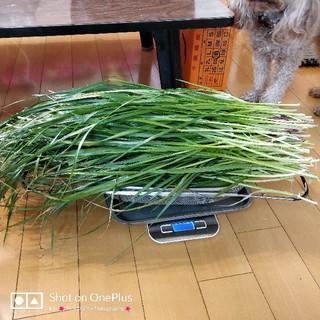 生牧草 [イタリアンライグラス]〈700g+サービス増量、送料込み〉うさぎ、モル(小動物)