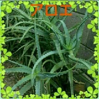 キダチアロエ・多肉植物 6苗