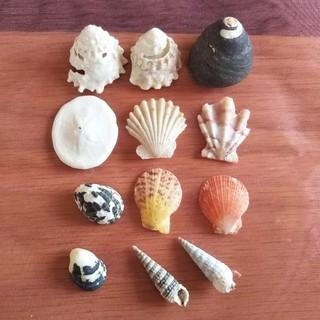 貝殻12個セット(その他)