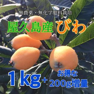 屋久島産 びわ お得な1.2kg◆ 日本一早い露地栽培びわ 採りたて当日発送