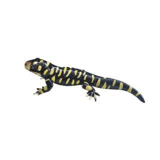 タイガーサラマンダー マグネット MG-REM3405(爬虫類/両生類用品)