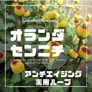 【オランダセンニチ】種子12粒 パラクレス エッグボール(その他)
