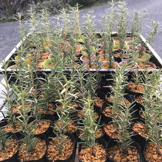 ローズマリー 在来種 2苗セット 無農薬 立性(野菜)