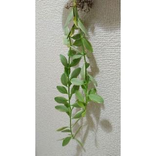 抜き苗■斑入りディスキディア エメラルド■希少品種3(その他)