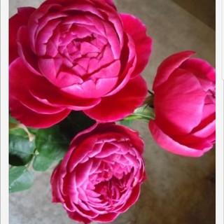 薔薇の苗マリー(その他)