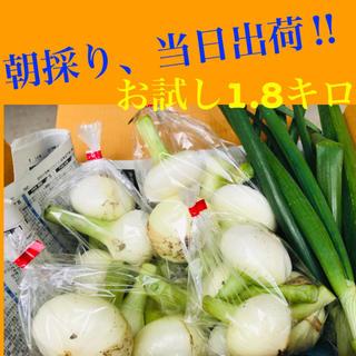 朝採り新玉ねぎ 1.8キロ 当日出荷 農家直送品 / 野菜 詰め合わせ(野菜)