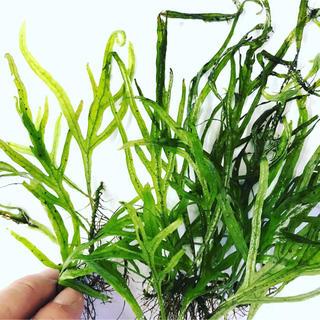 ◆ミクロソリウム・トライデント(子株×1、中株×1)【水草レイアウト】(アクアリウム)