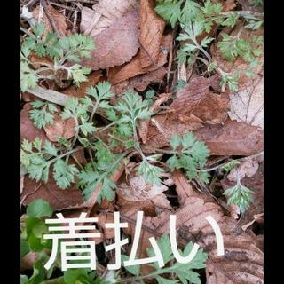 【灰汁抜き済み】ヨモギ(野菜)