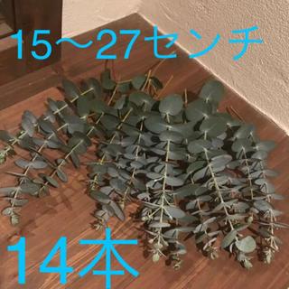 ユーカリ フレッシュ 15〜27cm 14本 リース スワッグ 枝 ドライ(その他)