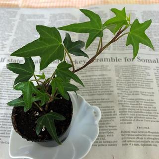 草花 観葉植物☆ 新芽あり‼︎ 発根済み アイビー 鉢植え(2号プラ容器) B(その他)