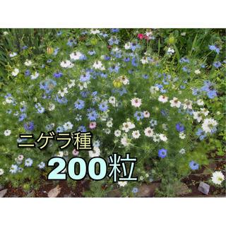 ニゲラ タネ 200粒以上(その他)